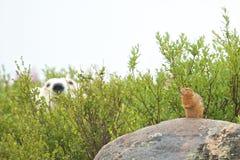 Niedźwiedź Polarny patrzeje dla przekąski obraz stock