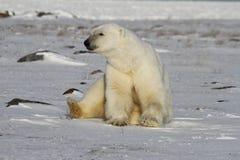 Niedźwiedź Polarny, Ursus Maritimus siedzi na śnieżnym i gapi się daleko w odległość, obraz stock