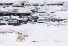 Niedźwiedź polarny w naturalnym środowisku - Arktycznym Zdjęcie Stock