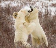 Niedźwiedź polarny walka Zdjęcia Royalty Free