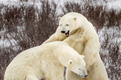 Niedźwiedź polarny walka i poryk fotografia royalty free