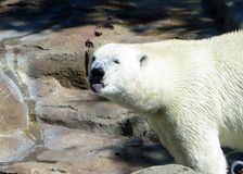 Niedźwiedź polarny wtyka jego jęzor out Obrazy Stock
