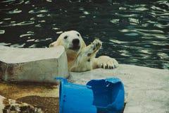 Niedźwiedź polarny wysyła powitania fotografia royalty free