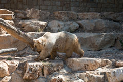 Niedźwiedź przy Haifa zoo Obraz Royalty Free