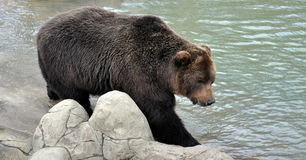Niedźwiedź przy jeziorem Zdjęcia Stock