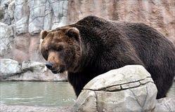 Niedźwiedź przy jeziorem Obraz Royalty Free