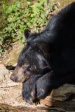 Niedźwiedź przy Kouangxi wody spadkiem laos luang prabang Obraz Royalty Free