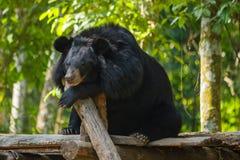 Niedźwiedź przy Kouangxi wody spadkiem laos luang prabang Zdjęcia Stock