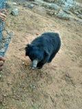 Niedźwiedź przychodził Indiańską świątynię zdjęcia royalty free