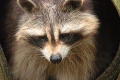 niedźwiedź raccoon pranie Obrazy Royalty Free