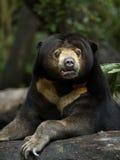 niedźwiedź słońce Zdjęcie Stock