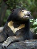 niedźwiedź słońce Obraz Stock