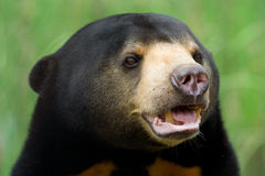 niedźwiedź słońce Fotografia Stock