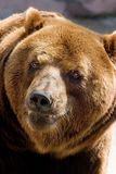 niedźwiedź się uśmiecha Obrazy Stock