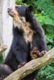 niedźwiedź spectacled Fotografia Stock