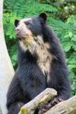 niedźwiedź spectacled Obrazy Stock