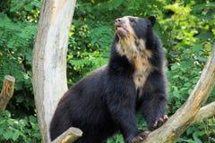 niedźwiedź spectacled Zdjęcie Stock
