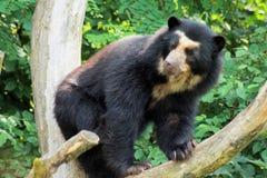 niedźwiedź spectacled Zdjęcie Royalty Free