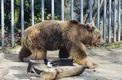 Niedźwiedź w klatce Fotografia Royalty Free