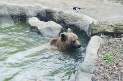 Niedźwiedź w klatce Obrazy Royalty Free