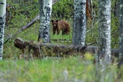 Niedźwiedź w Kolorado obrazy stock