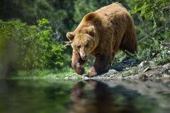 Niedźwiedź w lesie Zdjęcia Stock
