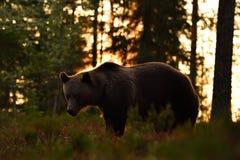Niedźwiedź w lesie przy zmierzchem zdjęcie royalty free