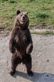 Niedźwiedź w niewoli Zdjęcie Stock