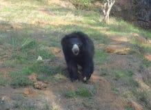 Niedźwiedź w Pilikula Nisargadhama Obrazy Stock