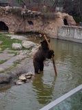 Niedźwiedź w wodzie obrazy royalty free