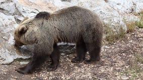 Niedźwiedź w zoo odprowadzeniu zbiory