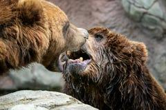 Niedźwiedź walki Ursus arctos beringians Kamchatka brown niedźwiedzie zdjęcia royalty free
