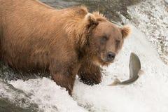 Niedźwiedź wokoło łapać łososia na siklawie Obrazy Royalty Free