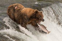 Niedźwiedź wokoło łapać łososia w usta Zdjęcie Stock