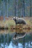 Niedźwiedź z odbiciem w wodzie Duży brown niedźwiedź chodzi wokoło jeziora z odbiciem lustrzanym Niebezpieczny zwierzę w lasowej  Zdjęcia Royalty Free