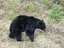 Niedźwiedzi chodzić Obrazy Royalty Free