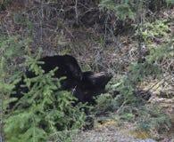 Niedźwiedzi drzemać Zdjęcia Royalty Free