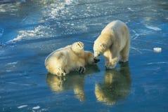 Niedźwiedzi polarnych bawić się Zdjęcia Royalty Free