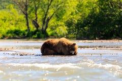 Niedźwiedzia brunatnego Ursus arctos beringianus dosypianie na Kurile jeziorze Półwysep Kamczatka, Rosja obraz stock