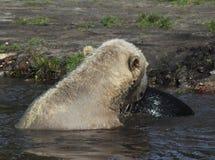 Niedźwiedzia Polarnego bawić się Obraz Stock