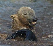 Niedźwiedzia Polarnego bawić się Obrazy Royalty Free