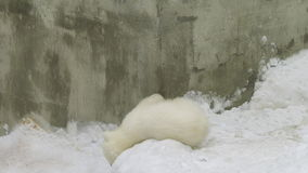 Niedźwiedzia polarnego lisiątka sztuki w śniegu zdjęcie wideo