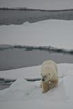 Niedźwiedzia polarnego malejący lodowy floe w Arktycznym Obrazy Royalty Free