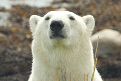 Niedźwiedzia Polarnego portret 3 zdjęcie royalty free