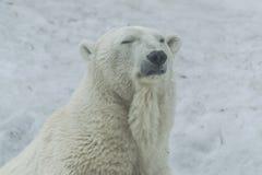 Niedźwiedzia polarnego portret z śnieżnym tłem zdjęcie stock