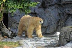 Niedźwiedzia polarnego wędrować Fotografia Royalty Free