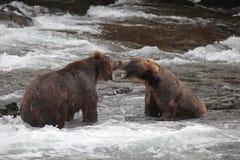 niedźwiedzie obraz stock