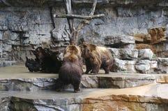 niedźwiedzie walczyć Obraz Royalty Free