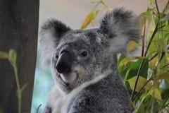 niedźwiadkowa Australijczyk koala Zdjęcia Stock