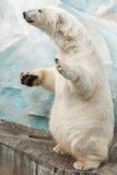 niedźwiadkowa biegunowa pozycja Zdjęcie Stock